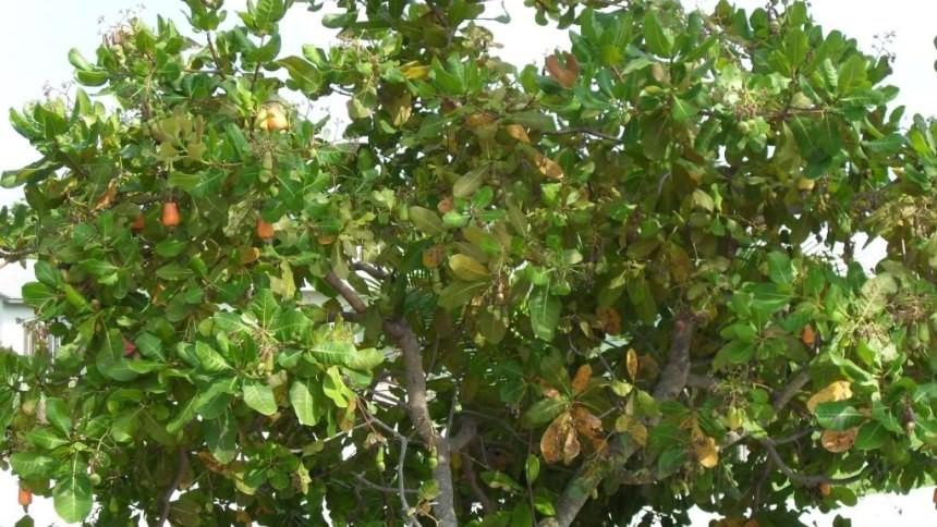 Pohon Jambu Mete Maumere Pohon Jambu Mete Maumere - Dolan Dolen