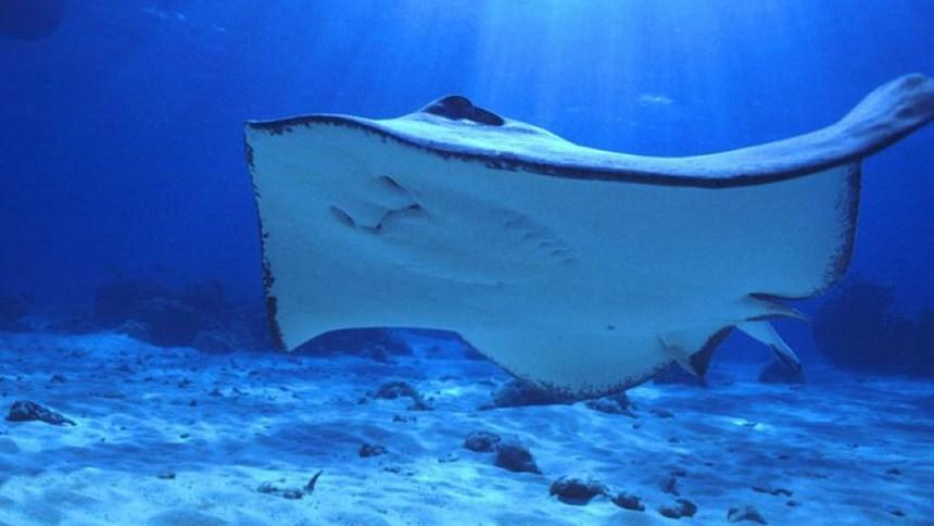 Ikan Pari Manta Pulau Derawan Ikan Pari Manta Pulau Derawan - Dolan Dolen