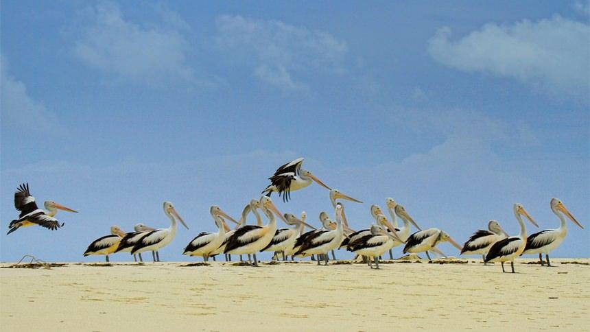 Burung Pelikan Pantai Ngurtafur Burung Pelikan Pantai Ngurtafur - Dolan Dolen