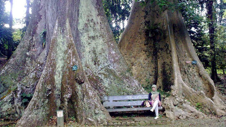 Pohon Jodoh Kebun Raya Bogor Pohon Jodoh Kebun Raya Bogor - Dolan Dolen