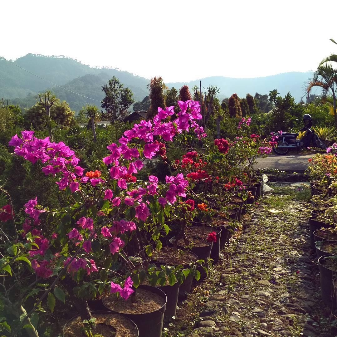 Desa Bunga Sidomulyo, Desa Bunga Sidomulyo Malang Raya, Malang Raya, Dolan Dolen, Dolaners Desa Bunga Sidomulyo via macigomalang - Dolan Dolen