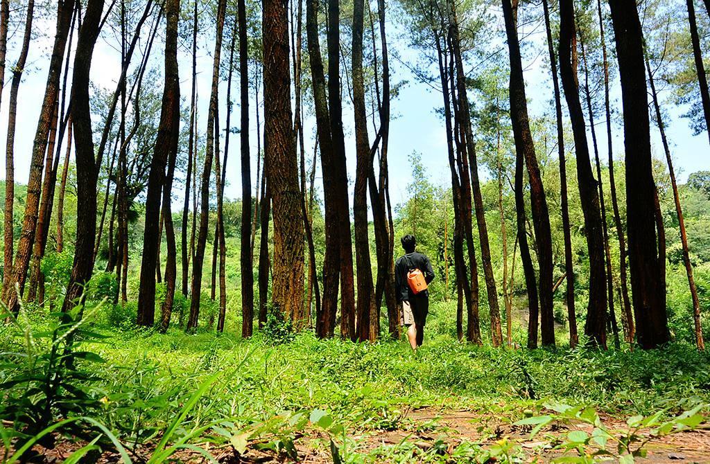 Hutan Pinus Ledok Ombo, Hutan Pinus Ledok Ombo Malang, Kabupaten Malang, Dolan Dolen, Dolaners Hutan Pinus Ledok Ombo via roellah - Dolan Dolen