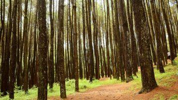Hutan Pinus Mangunan Hutan Pinus Mangunan Cover 355x200 - Dolan Dolen